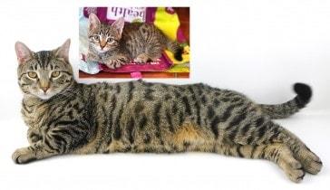tabby_cat