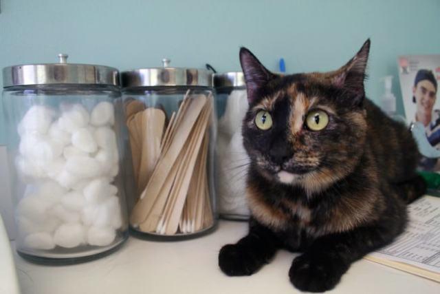 tortoiseshell-cat-vet