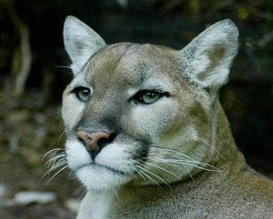 Eastern_cougar