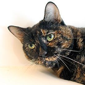 tortie-cat