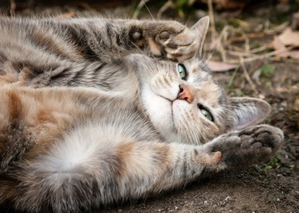 Probiotics One Of The Most Important Supplements For Your Cat The