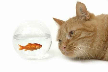 Is Fish Food Harmful To Cats