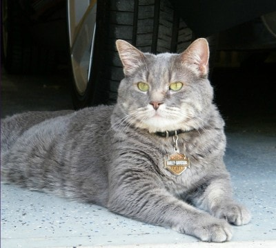 grey-tabby-cat