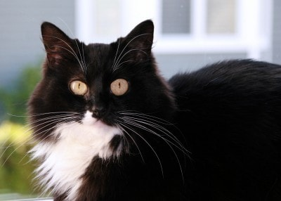 Lymphoma in Cats - The Conscious Cat