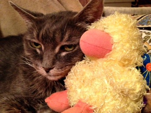 cat-with-stuffed-duck