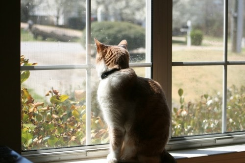 cat-looking-out-window
