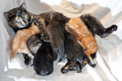foster-cat-nursing-puppies