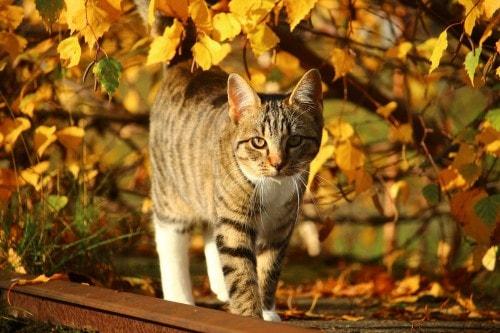 Thanksgiving-cat