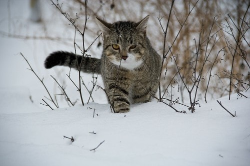 feral-cats-winter