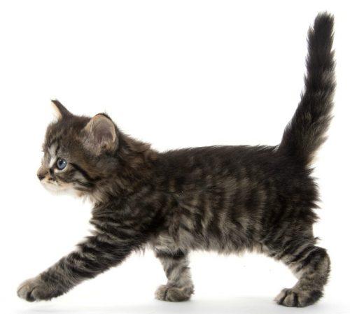 feline-anatomy