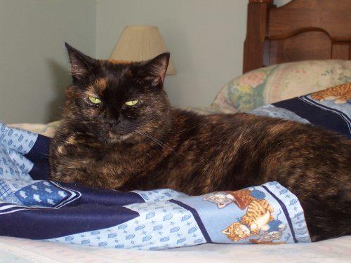Amber-tortoiseshell-cat