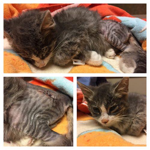 injured-cat