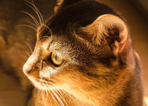 cat-ear