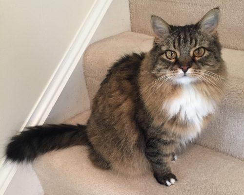 maine-coon-tabby-cat
