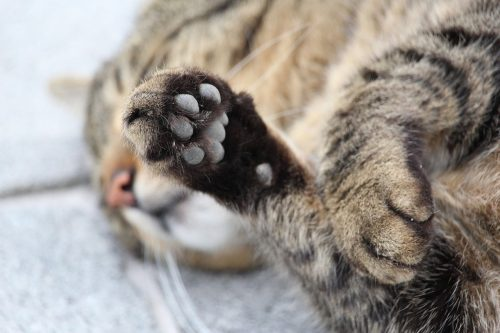 Fascinating Facts About Your Cats Paws The Conscious Cat