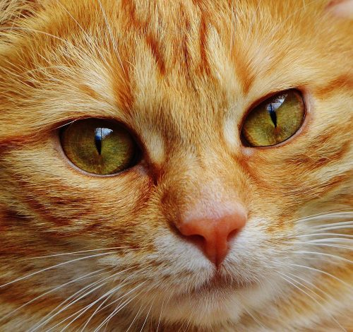 how to clean persian cat eye discharge