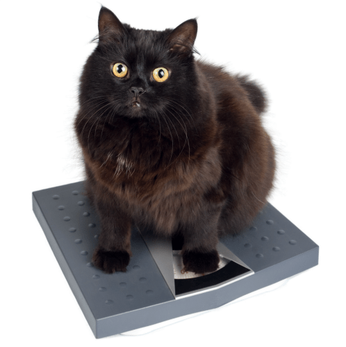 cat-on-scale