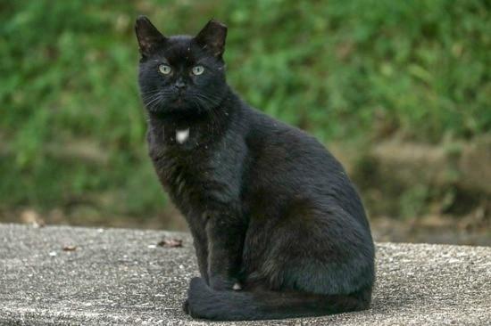 black-cat-ear-tip