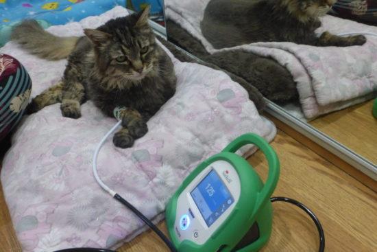 cat-blood-pressure-monitor