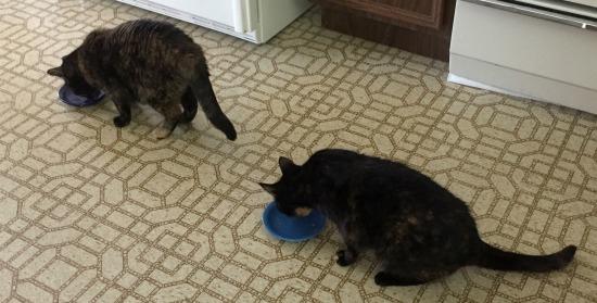 tortoiseshell-cats-eating