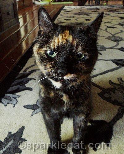 binga-tortoiseshell-cat