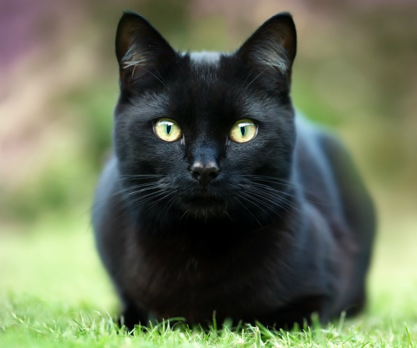 black-cat-nfl-game