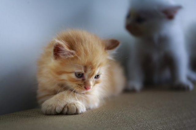 sad-kitten-fip