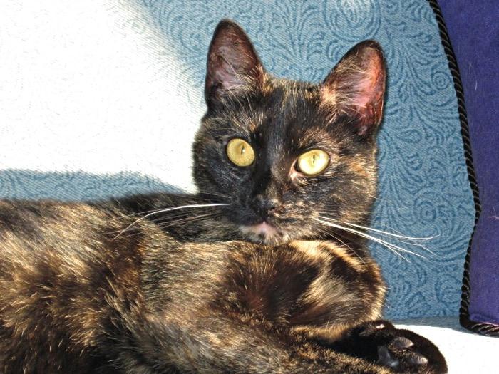 remembering-Ruby-tortoiseshell-cat