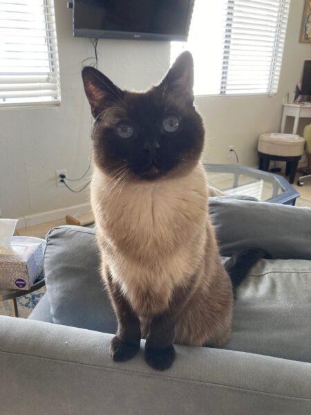 Siamese-cats