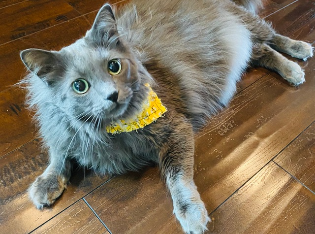 grey-cat-bandanna