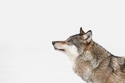 What to do when your co-workers have been raised by wolves