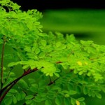 Cleaning Water: Seeds from the Moringa Tree Can Purify Water, Researchers Find
