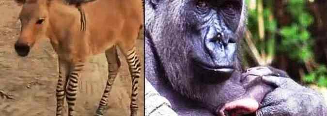 Rare 'Zonkey' (Zebra-Donkey) Born in Mexico; Two Baby Gorillas Born at Bronx Zoo