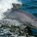 Scientists Working On Human-To-Dolphin Translator Report First Successful Interaction