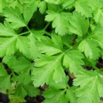 4 Benefits of Parsley: Detoxification, Immune Health, and More
