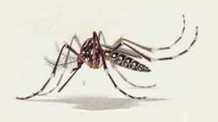 GM Dengue Mosquito - Wikimedia Commons