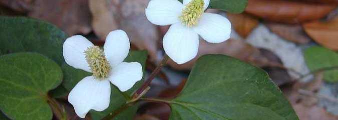 4 Benefits of Detoxifying Dokudami
