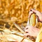 'Organic Ready' Corn to Replace Monsanto's GMO Corn, Cross-Pollination