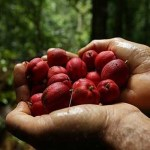 Good News: Blushwood Berries Kill Cancer in 75% of Cases, Big Pharma Tackles Patent