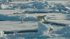 """""""Global warming has put Alaska's polar bears in a deadly downward spiral,"""" says Sarah Uhlemann of the Center for Biological Diversity. (Photo: NOAA Photo Library/flickr/cc)"""