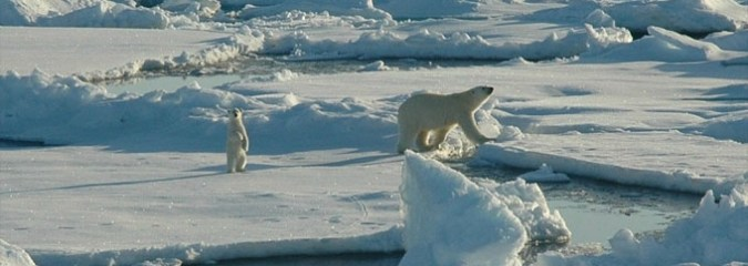 Canaries in the Arctic: New Study Shows Stunning Polar Bear Decline