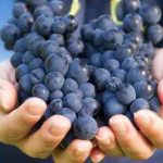 Research Unveils Key Mechanism in Resveratrol's Healing Capabilities