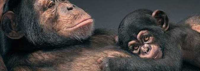 Chimpanzee Debate: Should Animals Have Human Rights?