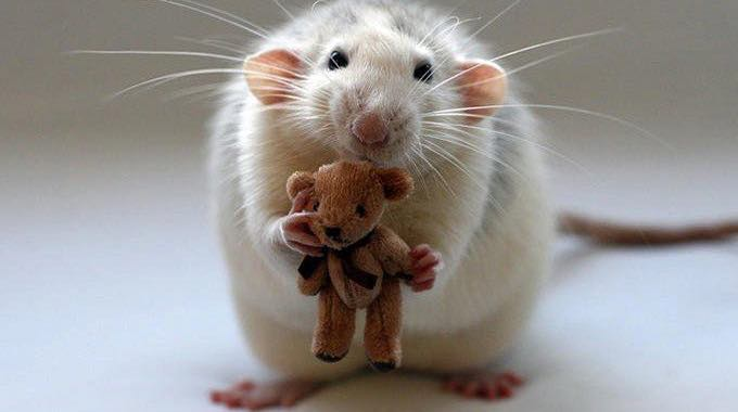 altruistic rat study