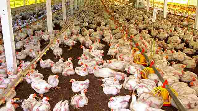 Chickens-Cage-Farm-Livestock-Hen-House
