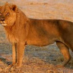 http://www.wildlife-pictures-online.com/lion-facts.html