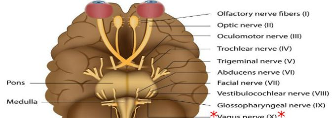 Wandering Vagus Nerve Could Lead to Range of Therapies