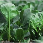 Popeye's Favorite Food : Spinach is a Nutrition Miracle