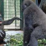 Orphaned Gorilla Has Best Reaction To Meeting New Best Friend