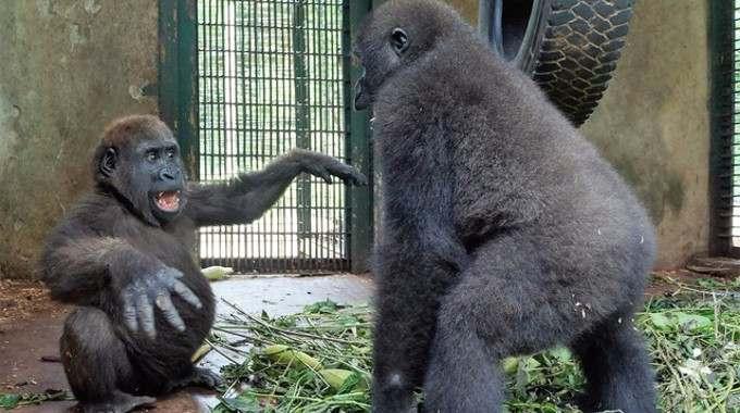 Orphan Gorilla-compressed